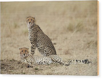 Cheetahs Resting Wood Print by Phyllis Peterson