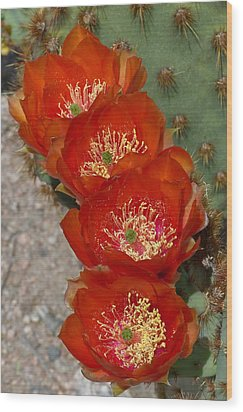 Wood Print featuring the photograph Chenille Prickly Pear Quartet by Cindy McDaniel