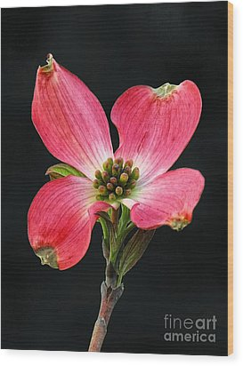Cherokee Chief Dogwood Bloom Wood Print