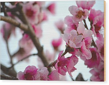 Cherry Blossoms 1 Wood Print