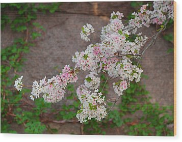 Cherry Blossoms 2013 - 067 Wood Print by Metro DC Photography