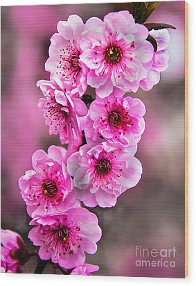 Cherry Blossoms Wood Print by Robert Bales