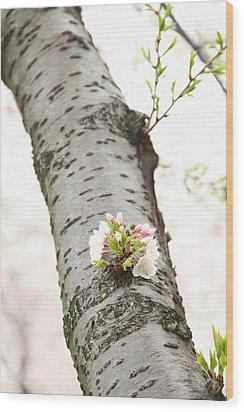 Cherry Blossoms - Washington Dc - 0113106 Wood Print by DC Photographer
