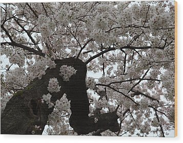 Cherry Blossoms - Washington Dc - 0113114 Wood Print by DC Photographer