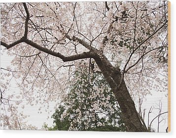 Cherry Blossoms - Washington Dc - 0113115 Wood Print by DC Photographer