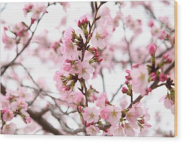 Cherry Blossoms - Washington Dc - 0113124 Wood Print by DC Photographer