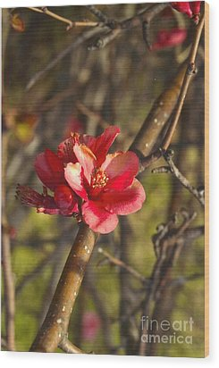 Cherry Blossoom Tree Wood Print