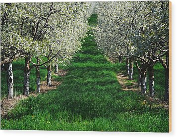 Cherry Orchard Morning Wood Print