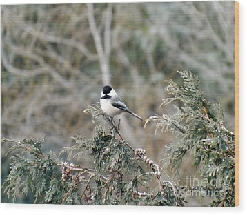 Wood Print featuring the photograph Chickadee In Cedar by Brenda Brown