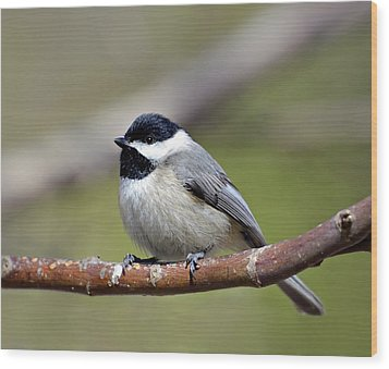 Chickadee Wood Print by Susan Leggett