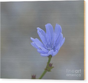 Chicory Wood Print by Randy Bodkins