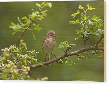 Chiffchaff Wood Print by Paul Scoullar