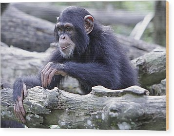 Chimpanzee Playing Wood Print by Shoal Hollingsworth