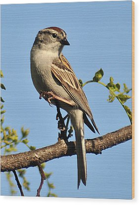 Chipping Sparrow 246 Wood Print