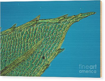 Chloroplasts On Moss Wood Print by Nuridsany et Perennou