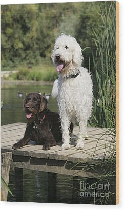 Chocolate And Cream Labradoodles Wood Print by John Daniels