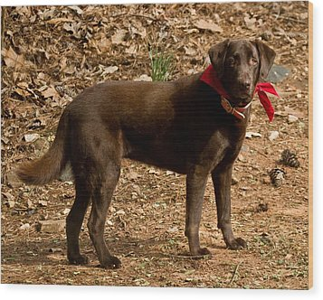 Wood Print featuring the photograph Chocolate Lab by Robert L Jackson