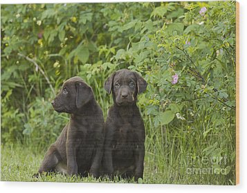 Chocolate Labrador Retriever Puppies Wood Print by Linda Freshwaters Arndt