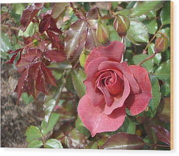 Chocolate Rose Wood Print by James Hammen