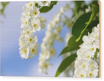 Choke Cherry In Bloom Wood Print by Gary Whitton