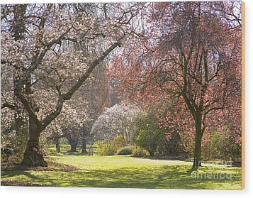 Christchurch Blossom In Hagley Park Wood Print by Colin and Linda McKie