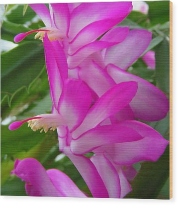 Christmas Cactus Flower Wood Print by Aimee L Maher Photography and Art Visit ALMGallerydotcom