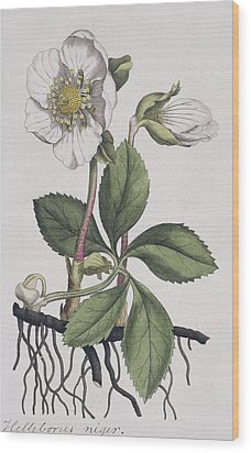 Christmas Rose, Historical Artwork Wood Print by Science Photo Library