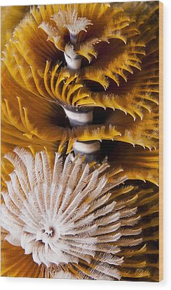 Christmas Tree Worms Wood Print