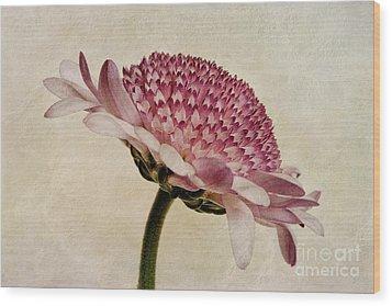 Chrysanthemum Domino Pink Wood Print by John Edwards