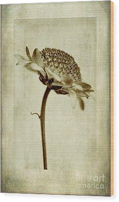 Chrysanthemum In Sepia Wood Print by John Edwards