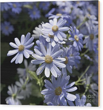 Cineraria 1225 Wood Print by Terri Winkler