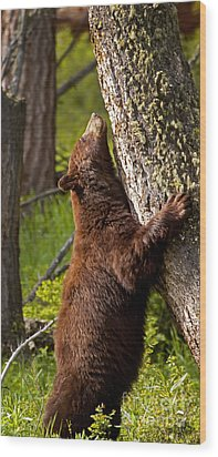 Wood Print featuring the photograph Cinnamon Boar Black Bear by J L Woody Wooden
