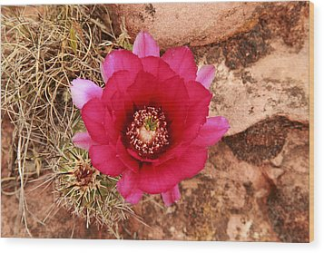 Wood Print featuring the photograph Claret Cup Cactus On Red Rock In Sedona by Alan Vance Ley
