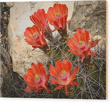 Claret Cups Wood Print by Thomas Pettengill