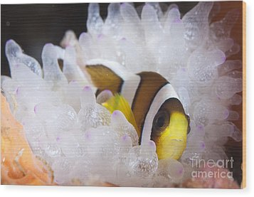Clarks Anemonefish In White Anemone Wood Print by Steve Jones