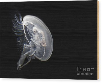 Clear Jelly Fish In Dark Water Art Prints Wood Print by Valerie Garner