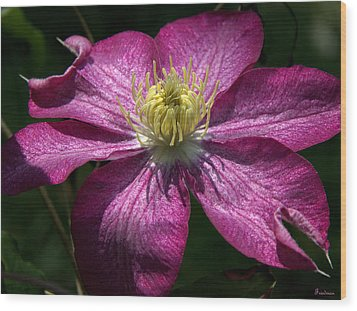 Clematis Aglow Wood Print by Michael Friedman