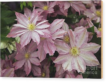 Clematis First Lady Wood Print by Ros Drinkwater