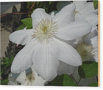 Clematis - Madame Le Coultre Wood Print by June Holwell