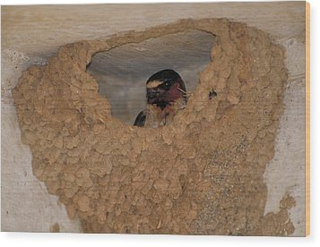 Cliff Swallows Wood Print by Paul J. Fusco