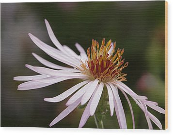 Wood Print featuring the photograph Climbing Aster by Paul Rebmann