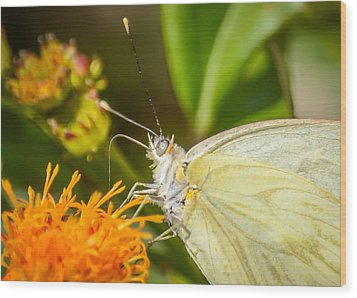 Wood Print featuring the photograph Butterfly Attracted To Mexican Flame by Debra Martz