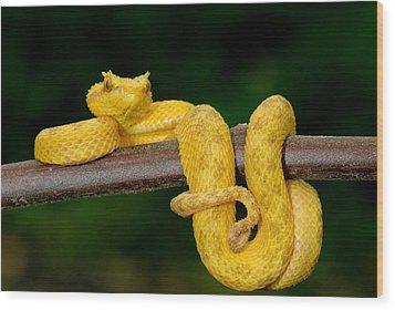 Close-up Of An Eyelash Viper Wood Print by Panoramic Images