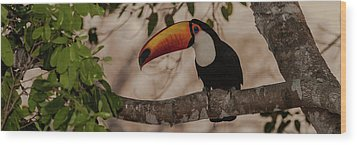 Close-up Of Tocu Toucan Ramphastos Toco Wood Print