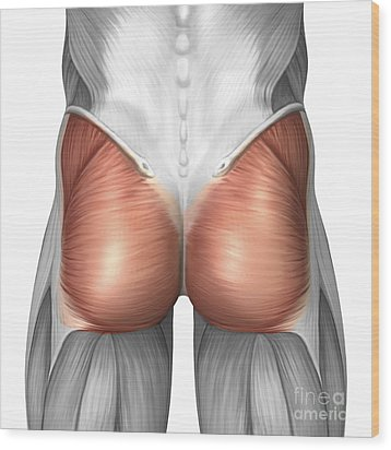 Close-up View Of Human Gluteal Muscles Wood Print by Stocktrek Images