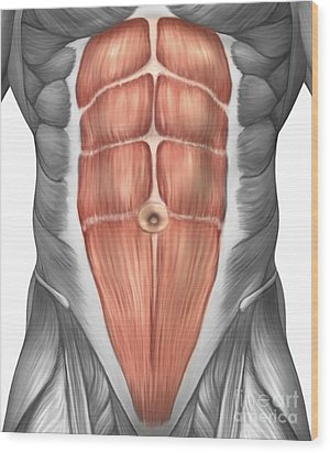 Close-up View Of Male Abdominal Muscles Wood Print by Stocktrek Images