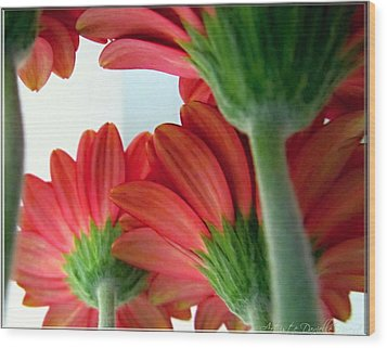 Close View From Under The Red Daisies Wood Print by Danielle  Parent