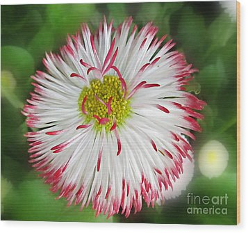 Closeup Of White And Pink Habenera English Daisy Flower Wood Print by Valerie Garner