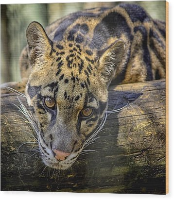 Wood Print featuring the photograph Clouded Leopard by Steven Sparks