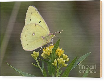 Wood Print featuring the photograph Clouded Sulphur by Randy Bodkins